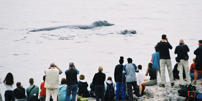 Whale watching from the cliffs in Hermanus